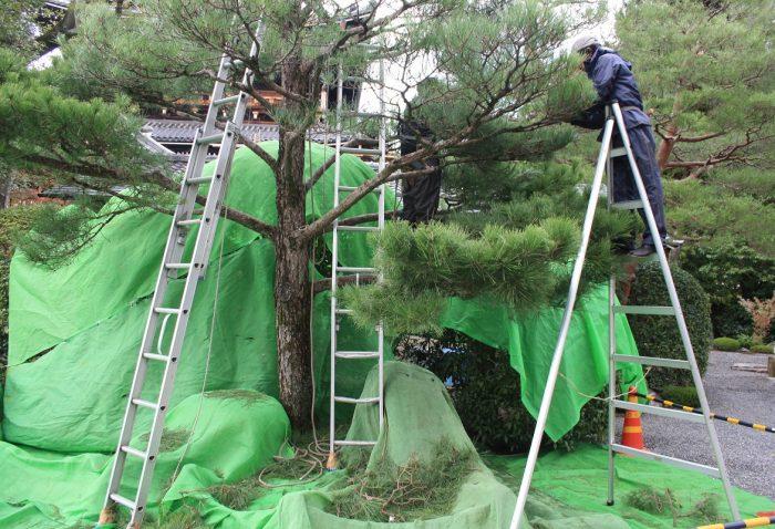 Pine pruning in Japan