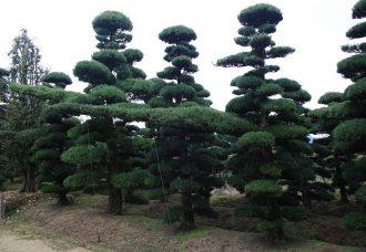Niwaki nursery Japan