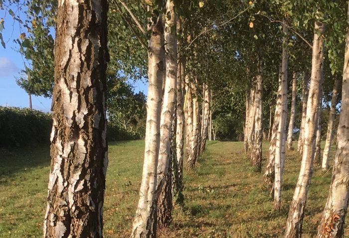 Birches Links